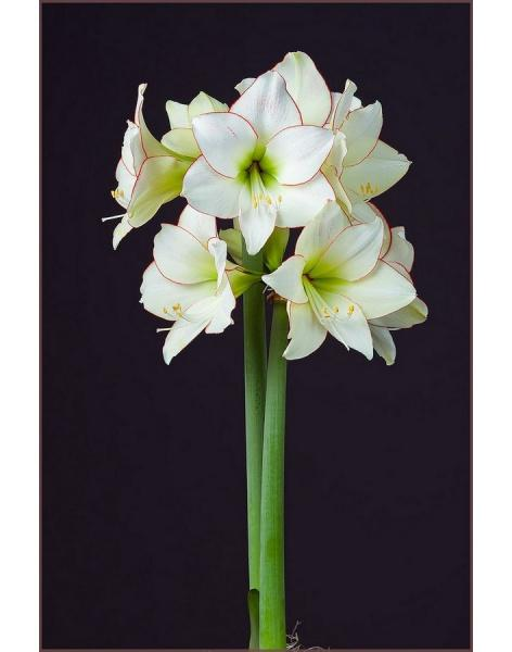 Bouquet of 15 white amaryllis: delivery of flowers in